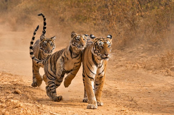 Incredible India | Honeymoon | Tigers