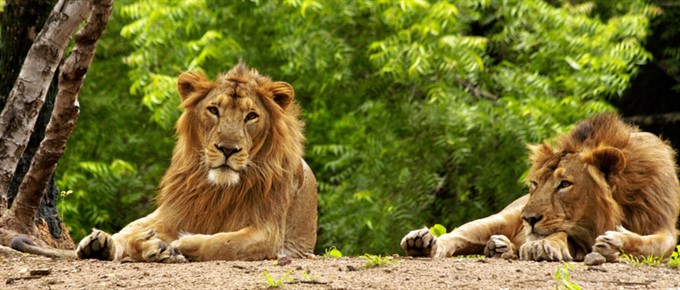 Incredible India | Honeymoon | Gir Foresy, Gujarat